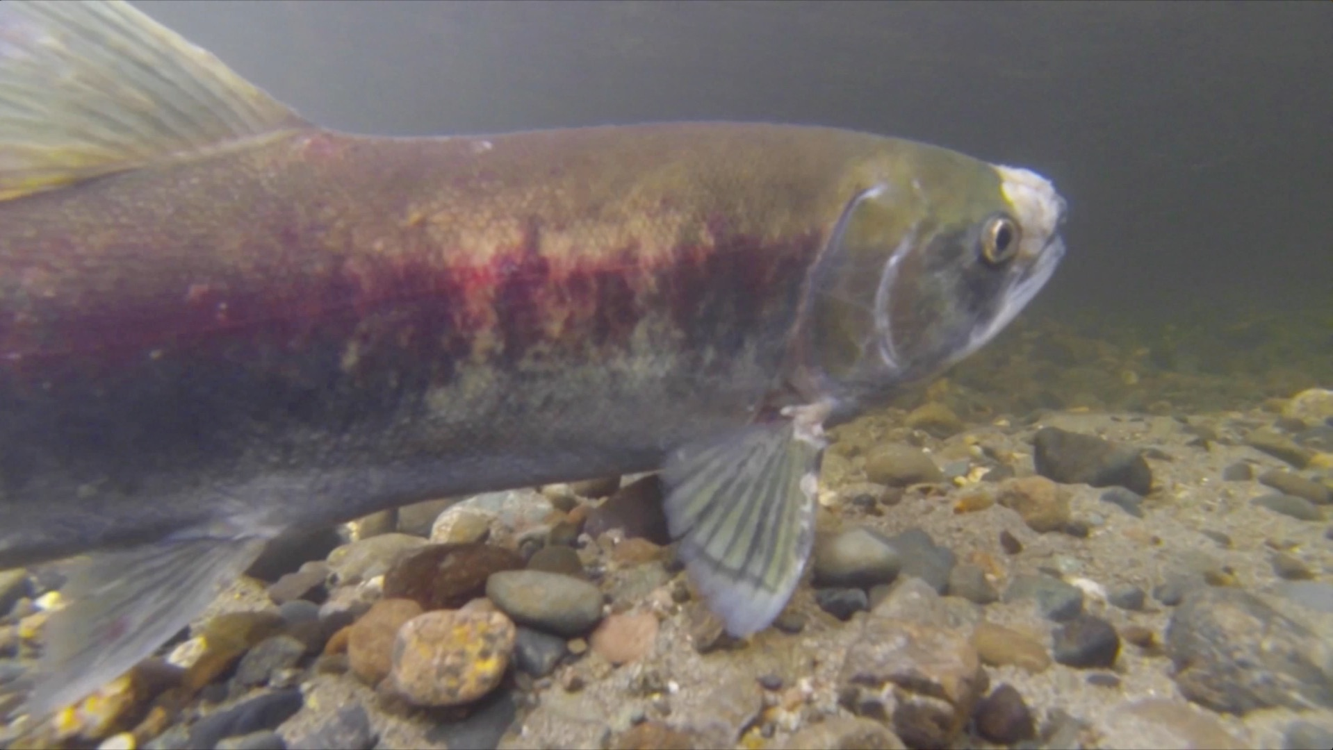 Fish Habitat Fish CU1 Conservation Video   National Fish Habitat Partnership %page